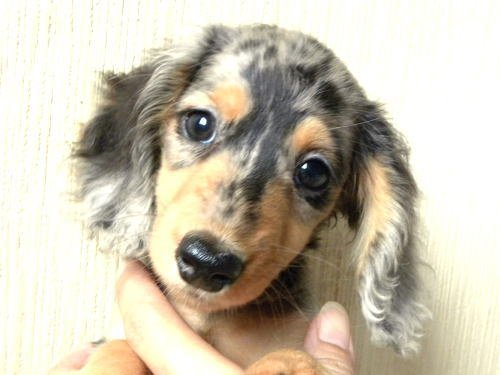 人気のダップルも遺伝性の病気が多い犬種だそうです。