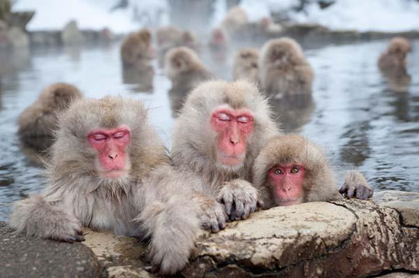 申年だけに地獄谷野猿公苑 写真提供:地獄谷野猿公苑