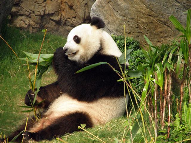 附属書Ⅰの絶滅危惧種のパンダ