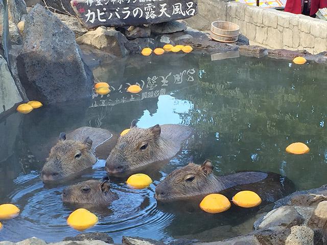 定番の伊豆シャボテン公園のカピパラさんの入浴シーン